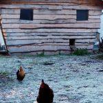 frosty chickens