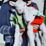 two lambs in woolly jumpers